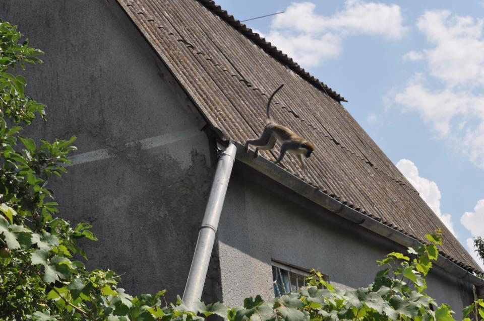 Одесских дачников все еще терроризируют обезьяны, сбежавшие из зверинца