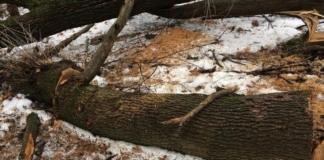 вырубили столетние дубы