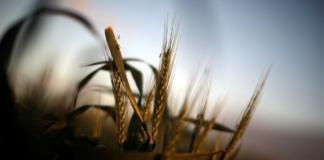 экспорт зерна Украина