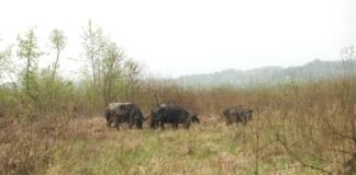 """В карпатскую """"Долину нарциссов"""" спустя сотню лет выпустили стадо черных буйволов (ФОТО)"""