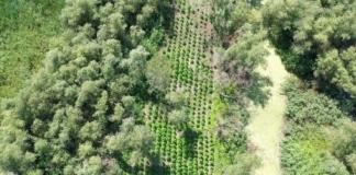 Под Одессой пограничники нашли плантацию конопли с товаром на 40 миллионов