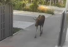В Киеве дикий лось разгуливал по территории фабрики Порошенко