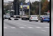 В Харькове кабаны остановили движение автомобилей (ВИДЕО)