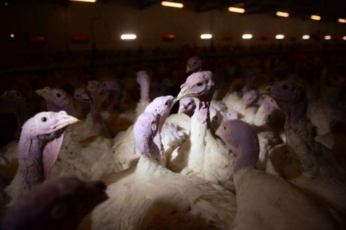 В Англії знищать понад 10 тисяч індиків через спалах пташиного грипу