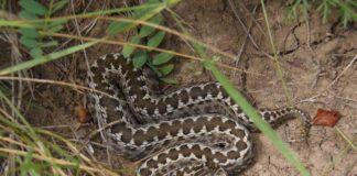 гадюка змея змія
